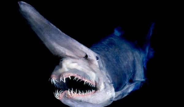 1- O tubarão-duende