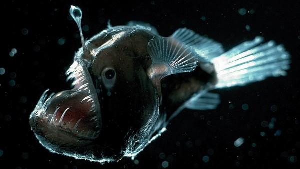 4- Lophiiformes o Peixe-Pescador.