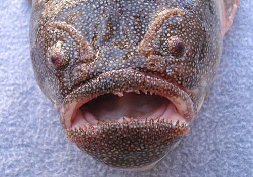 5- Coffinfish
