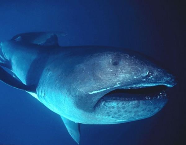 9- Tubarão-boca-grande