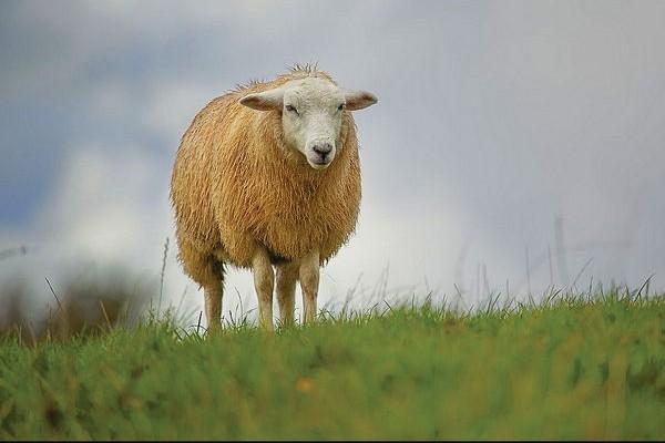 Morte por Ovelha faminta