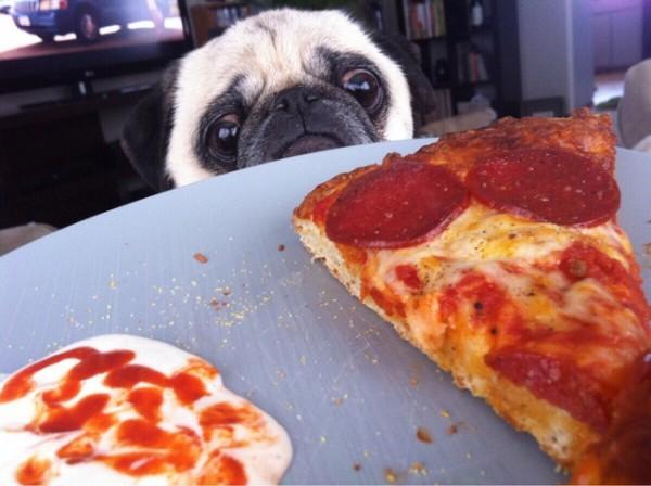 2- Você tem que cuidar bem o que o seu cão come, porque eles podem ser gordinhos facilmente.