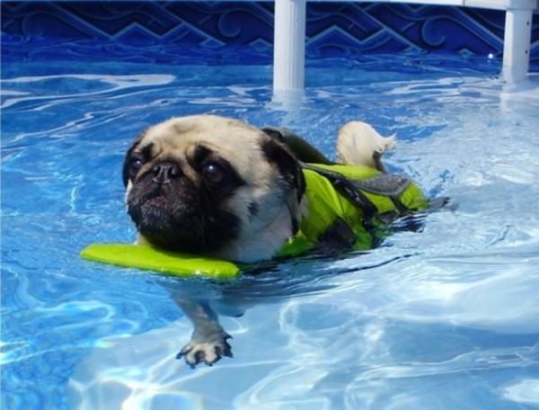 3- Eles têm patas curtas, então eles não são os melhores nadadores. Isso significa que se você quiser leva-los para a piscina, você vai ter que comprar um daqueles adoráveis coletes salva-vidas.