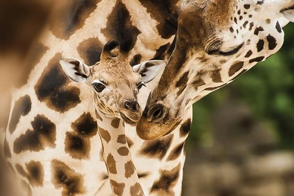 Por causa do tamanho, as girafas têm circulação sanguínea única