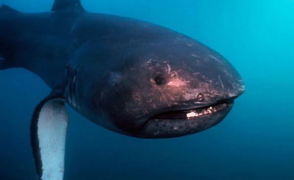 Tubarão boca grande