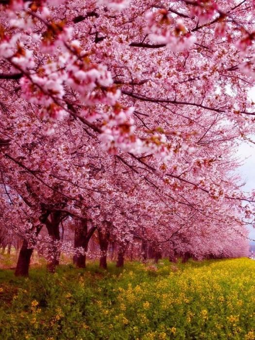 Cerejeira (Alemanha)