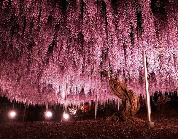 Glicínia (Japão)