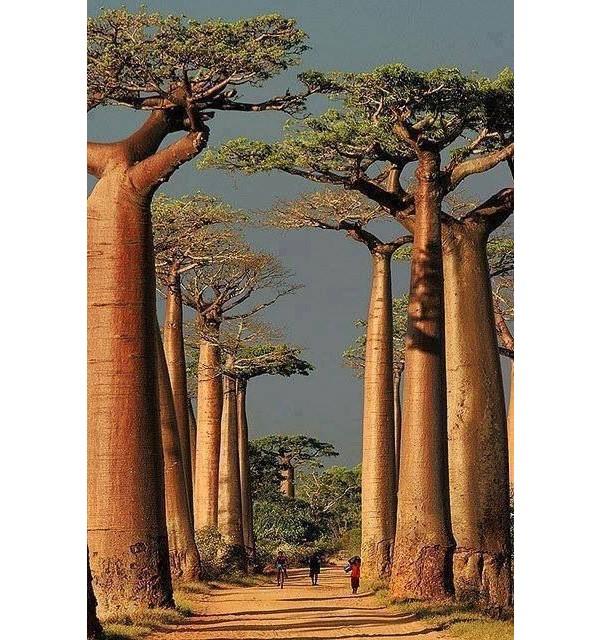 Baobá (Madagascar)
