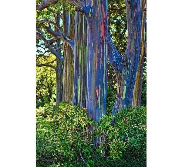 Eucalipto (Havaí)
