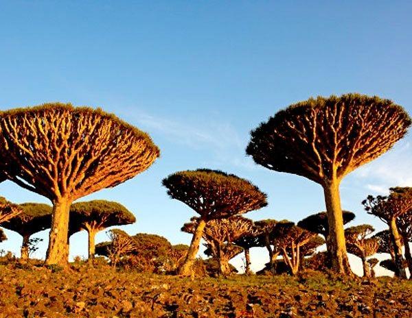 Árvore Sangue-de-Dragão (Yemen)