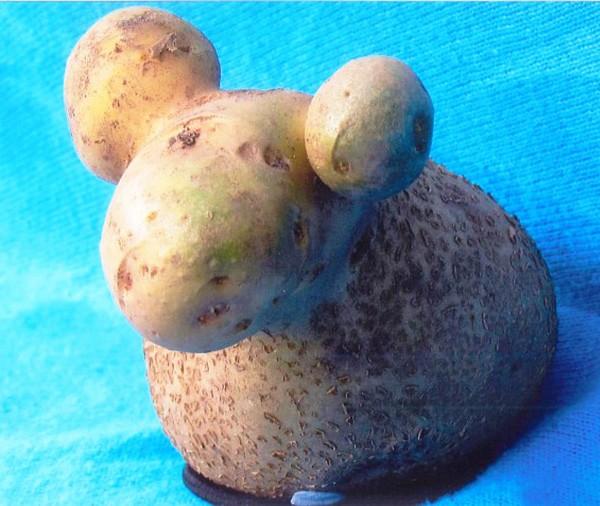 Batata que parece uma ovelha