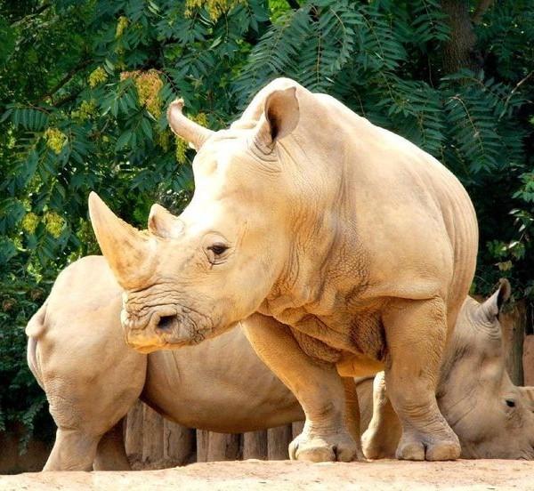 Rinoceronte albino