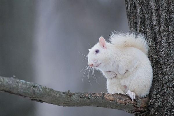 Esquilo albino