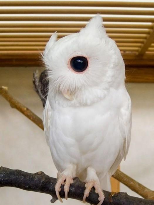 Coruja albina