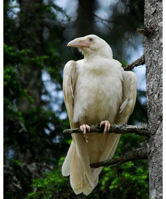Corvo albino
