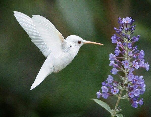 Beija-flor albino