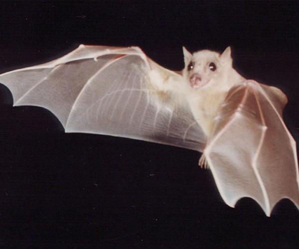 Morcego albino