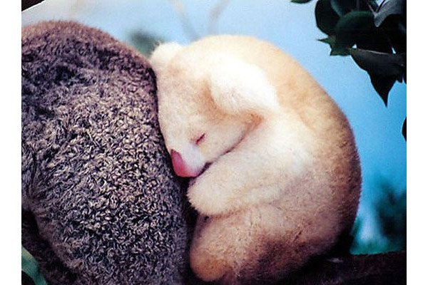 Coala albino