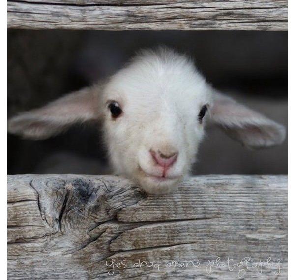 Ovelhas