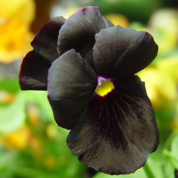Amor-perfeito negro