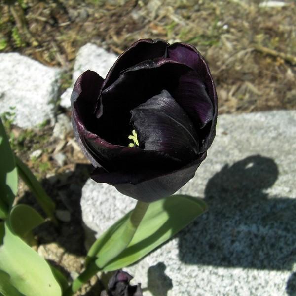 Viúva-negra ou Geranium Cranesbill