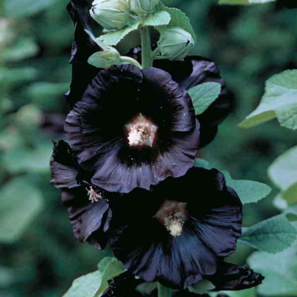 Malva-rosa negra