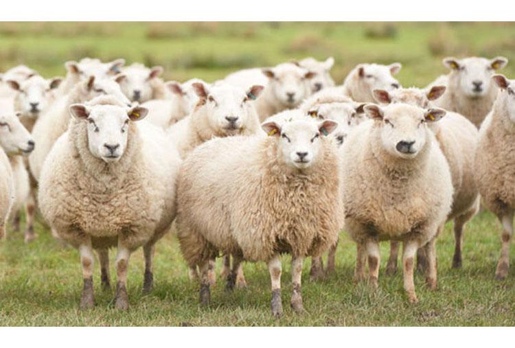 Por uma ovelha