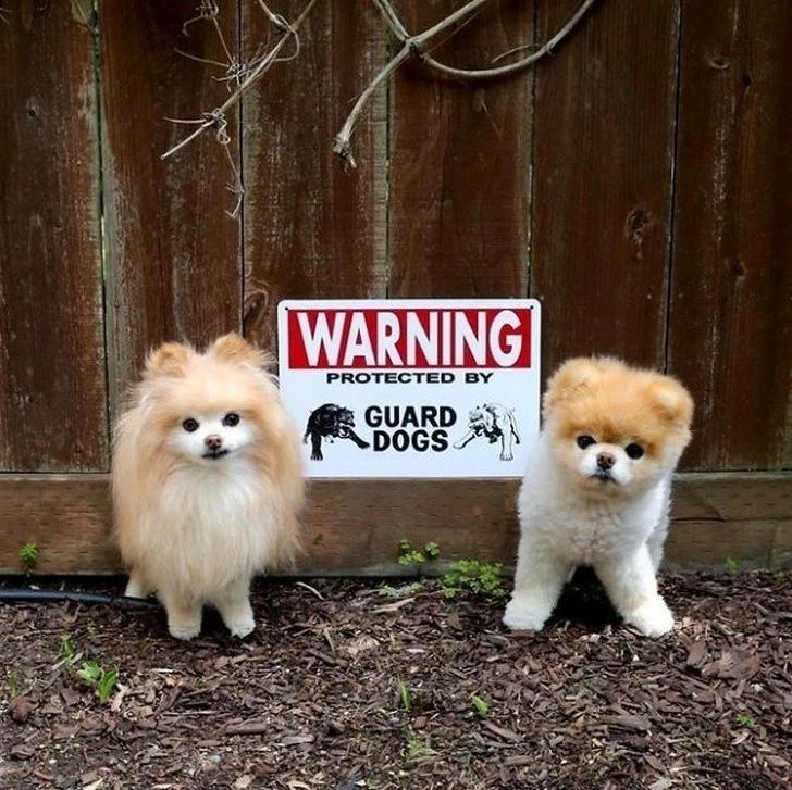 Aqui estão dois cães de guarda!