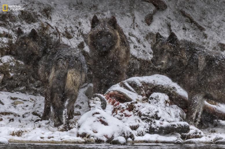 Lobos caçando bisões