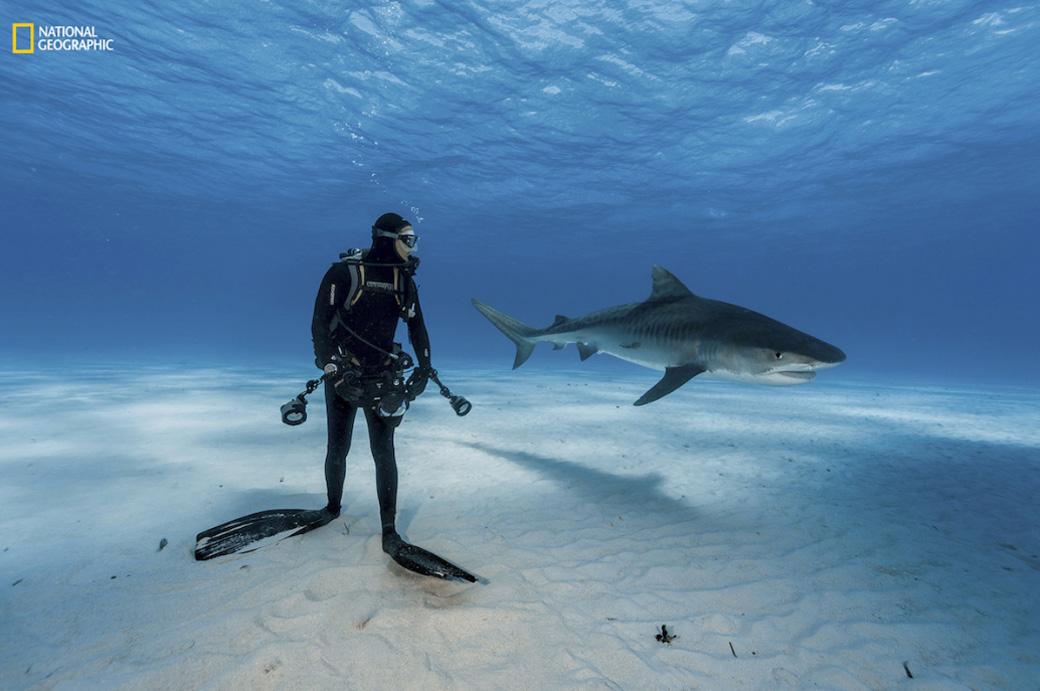Mergulhando com tubarões-tigre