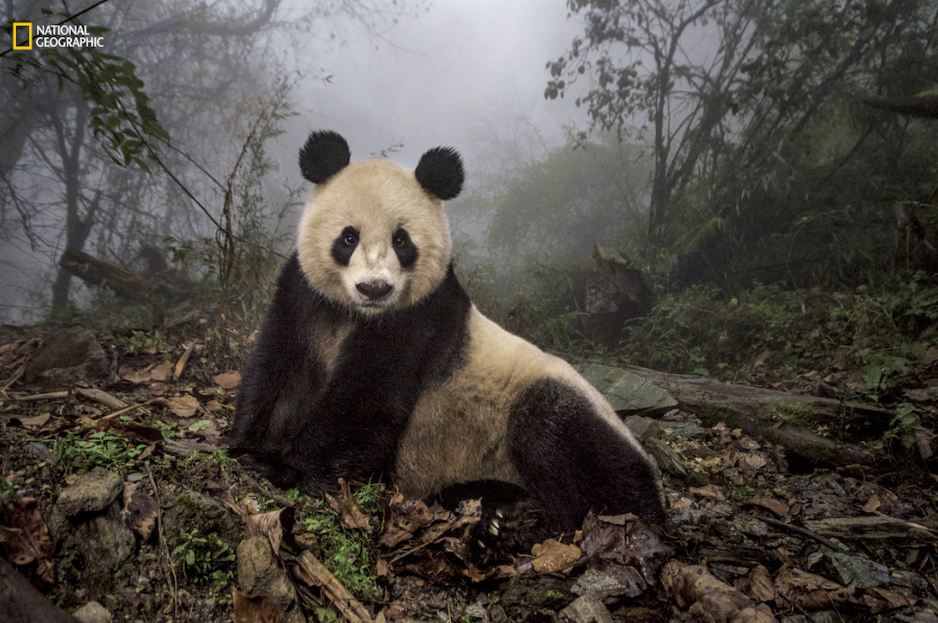 Conservação do panda