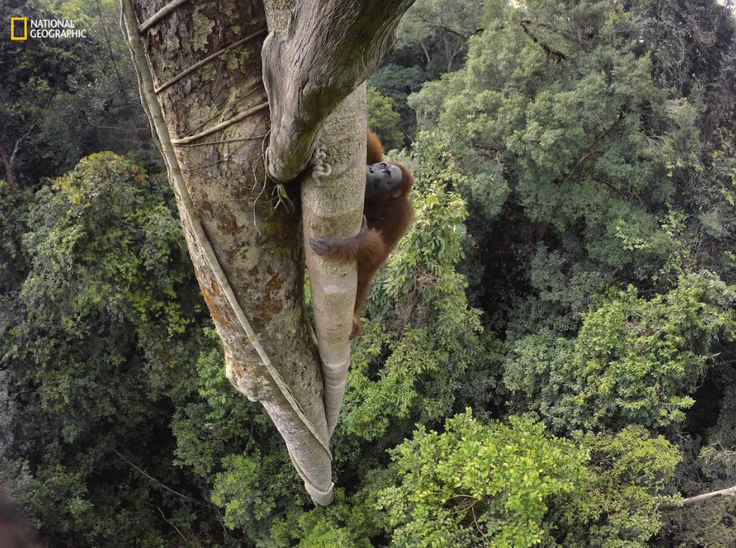 Orangotango trepador