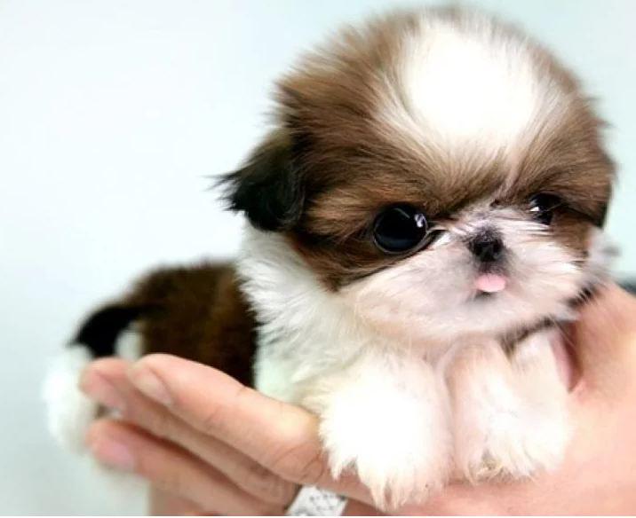 Um cachorrinho com cara de irritado