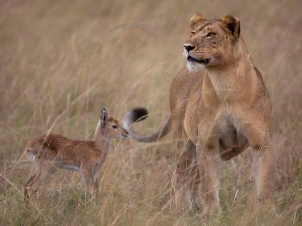 Uma leoa que adotou um veadinho