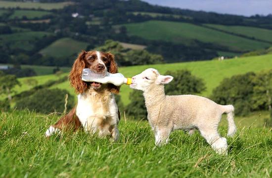 O cachorro que adotou uma ovelha