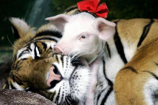 A tigresa e o seus porquinhos
