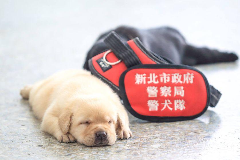 Os cachorros policiais têm tempo de cochilo, comida e brincadeiras