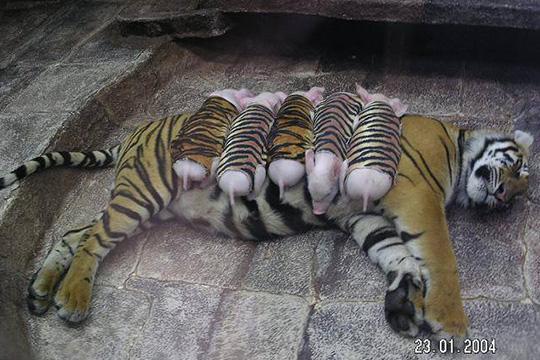 Uma história romântica entre tigres e porcos