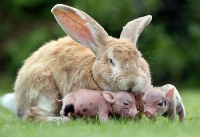 Um coelho que adotou porquinhos