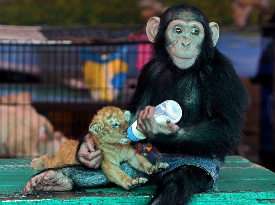 O macaco que adotou um filhote de tigre