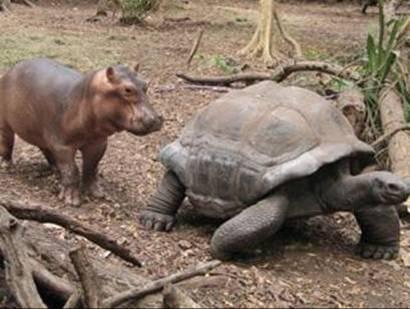 A tartaruga e o hipopótamo