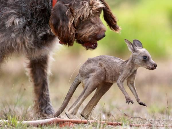 O cão e seu filho, o canguru