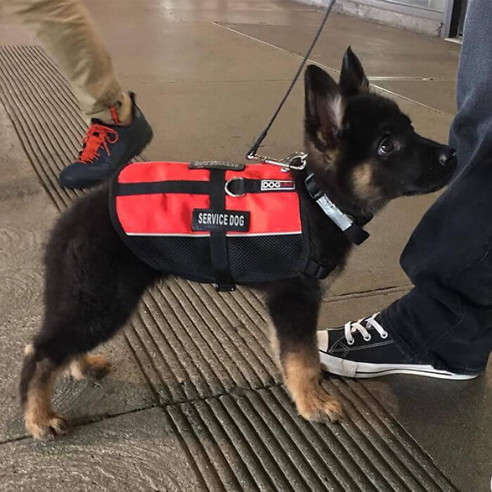 Cães policiais e guias vêm da Segunda Guerra Mundial