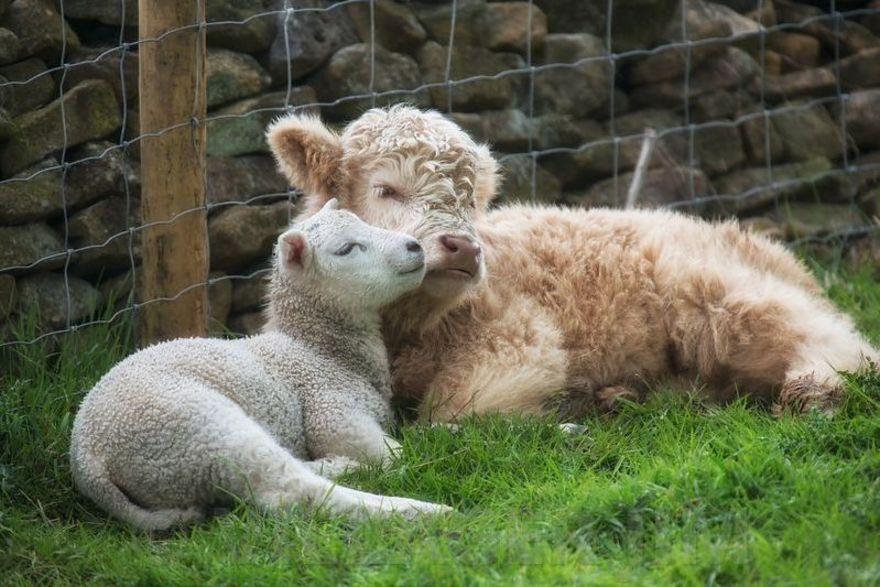 Bezerro e ovelha órfãos