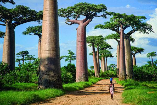 A Avenida dos Baobabs em Madagascar