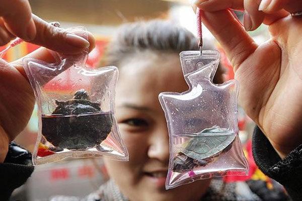 Chaveiros com tartarugas vivas