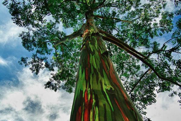 Árvores arco-íris