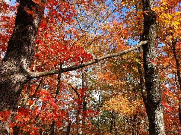 Duas árvores com um galho em comum