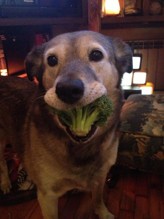 Um cachorro saudável e vegetariano vale por dois