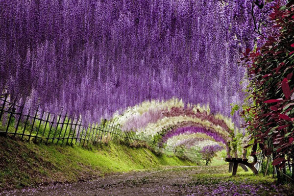 O túnel da Wisteria no Japão